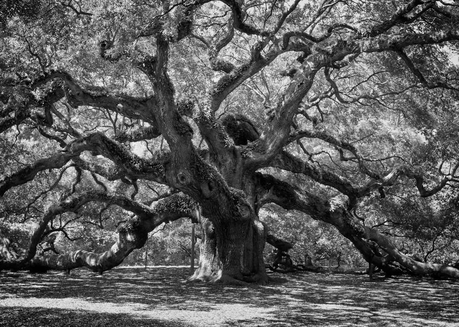 Angel Oak Tree in Black and White
