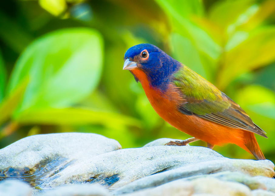 Migrating Male Painted Bunting at Bird Bath