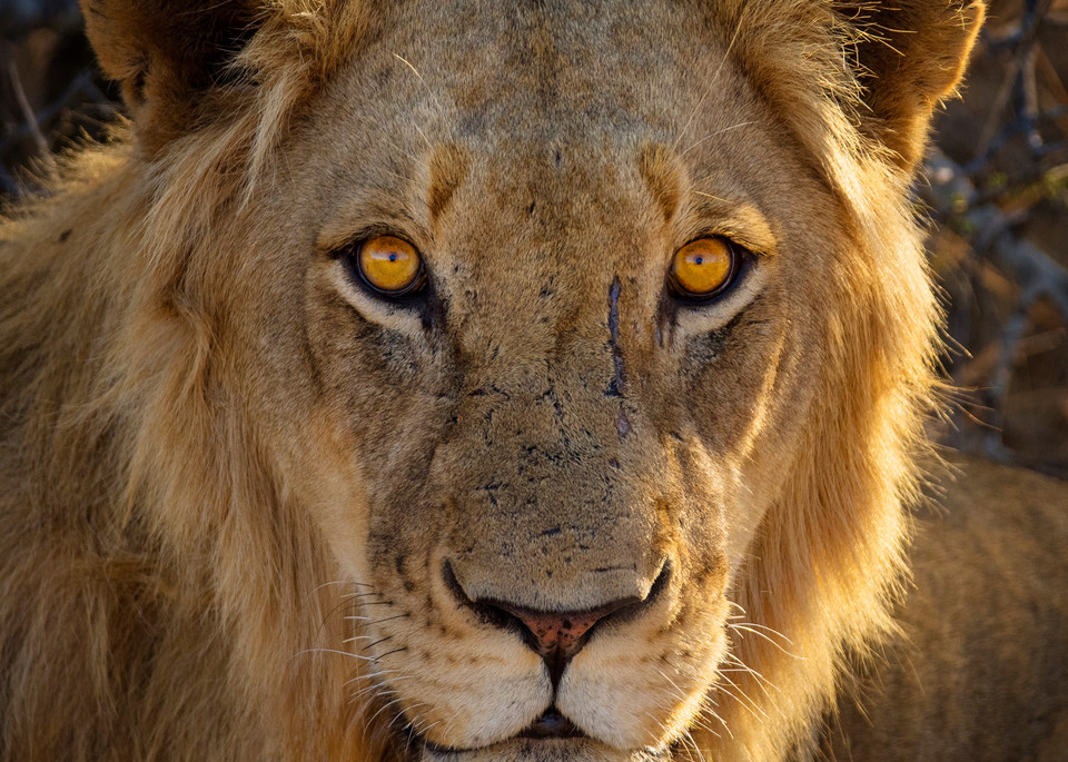 Lion photographed in South Africa by Rob Shanahan