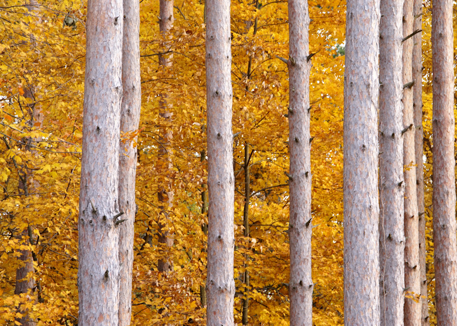 Pines and Fall Colors