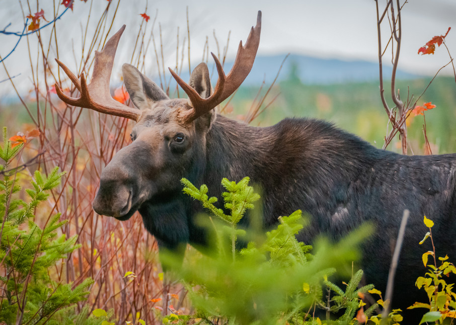 Moosehead Bull Photography Art | Monteux Gallery
