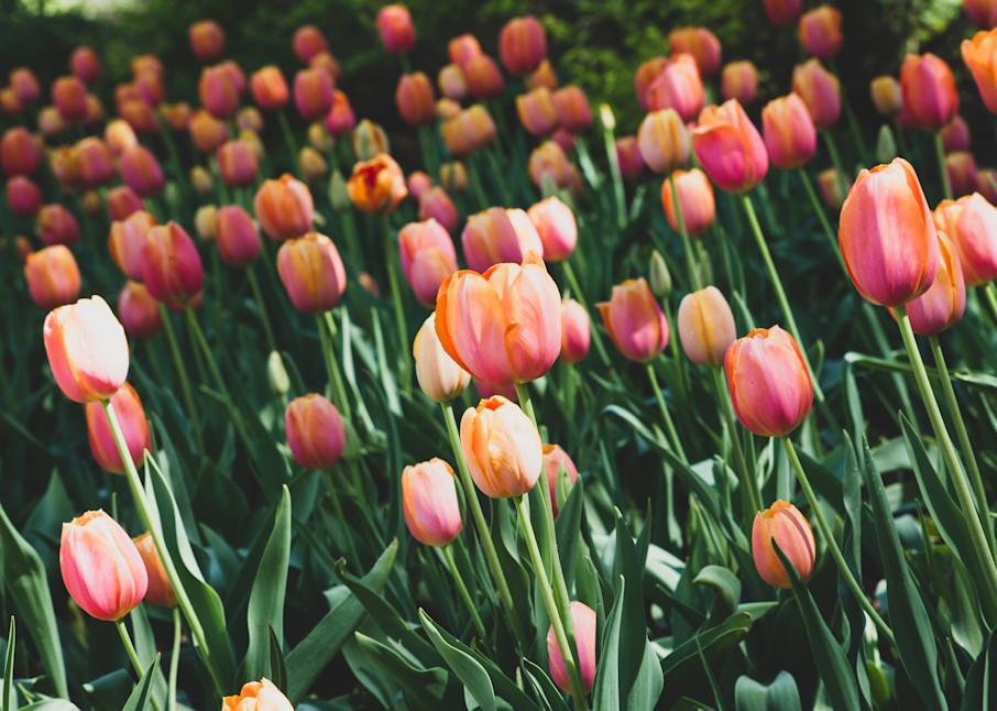 Orange Tulip Photography Art | Julie Williams Fine Art Photography