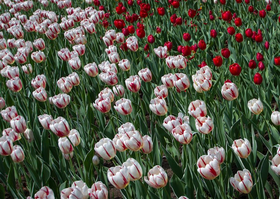 Garden Of Tulips  Photography Art | Julie Williams Fine Art Photography