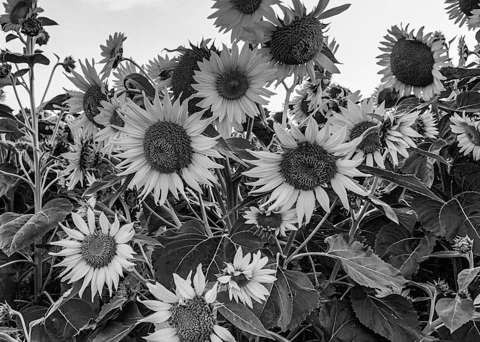 Sunflowers In A Sunny Day (Black And White) Photography Art | Julie Williams Fine Art Photography
