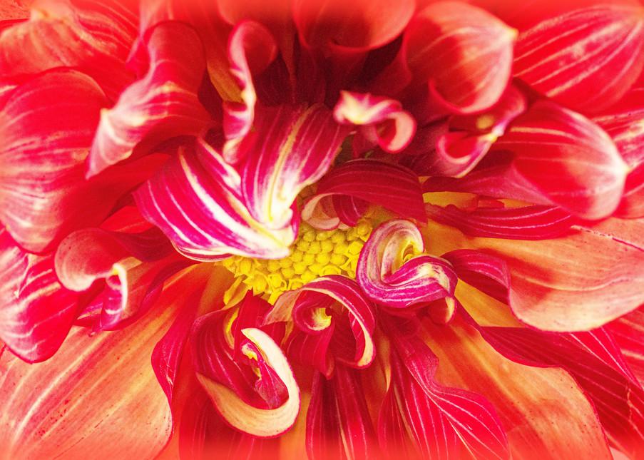 Dahlia Delight Fine-Art Print