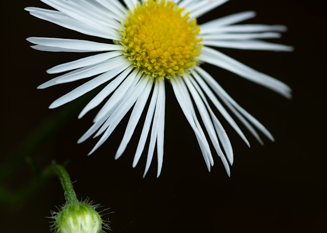 Daisy Fleabane flower macro - Fine Art photographs for sale.