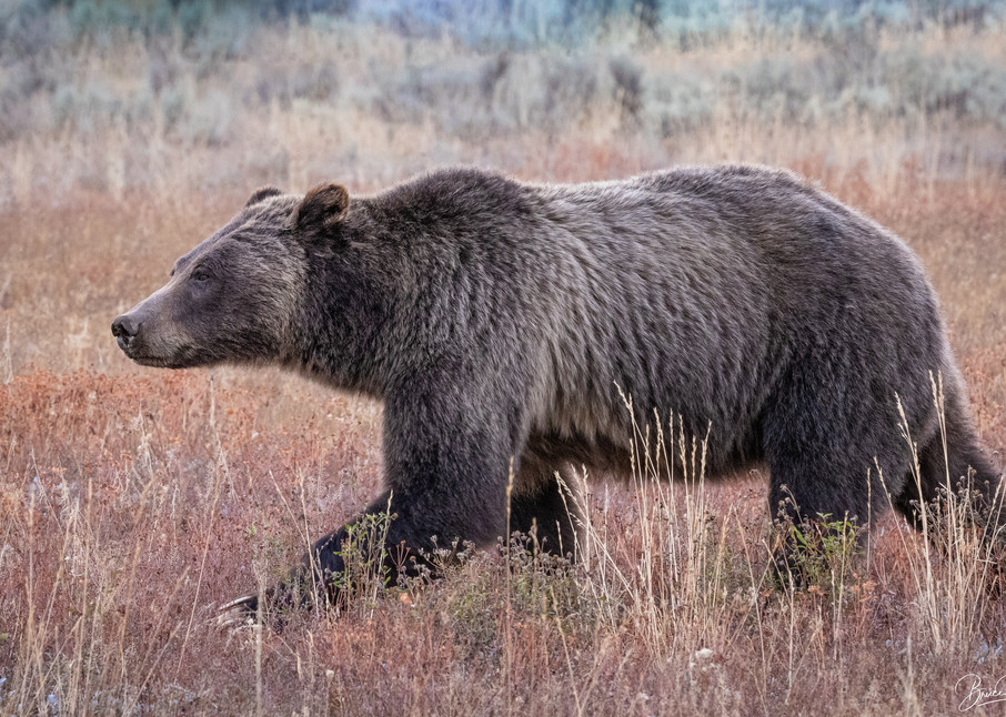 Grizzly Bear No. 399 in Grand Teton National Park II