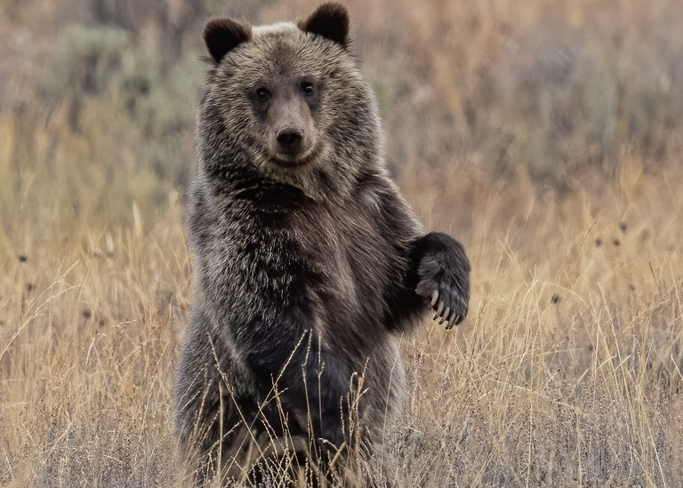Grizz;y Bear No. 399's Cub