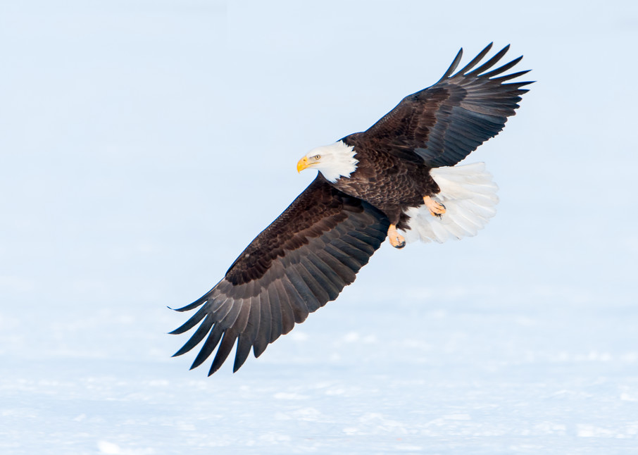 Bald Eagle Swooping