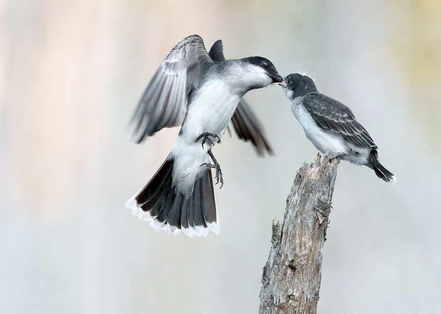 Eastern Kingbird Feeding on the Wing