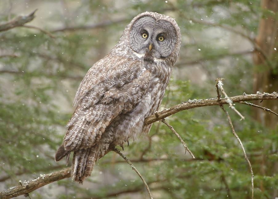 Great Gray Owl on Branch