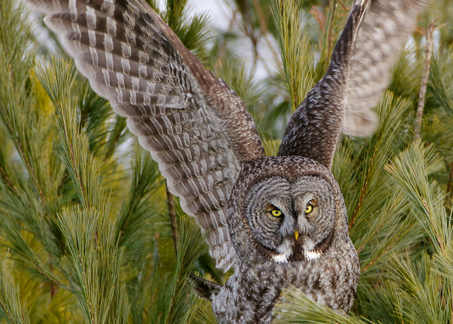 Great Gray Owl Take Off