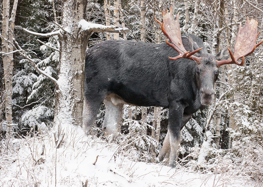 Bull Moose Behind Snowy Birches Photography Art | http://www.mooseprintsgallery.com