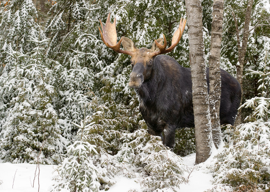 Bull Moose Behind Gray Birch Horizontal