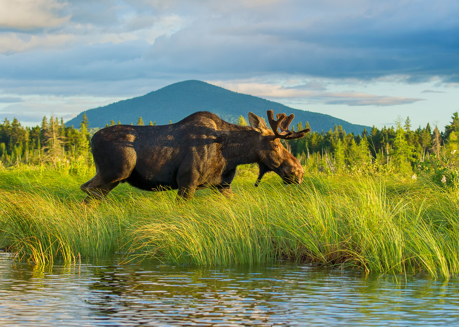 Bull Moose Walking in Grass with Mountain