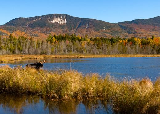 Bull Moose and Katahdin Range from Kidney Pond