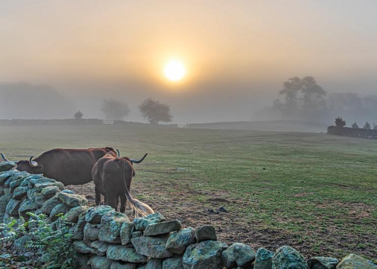 Brookside Farm Oxen Fog Art | Michael Blanchard Inspirational Photography - Crossroads Gallery