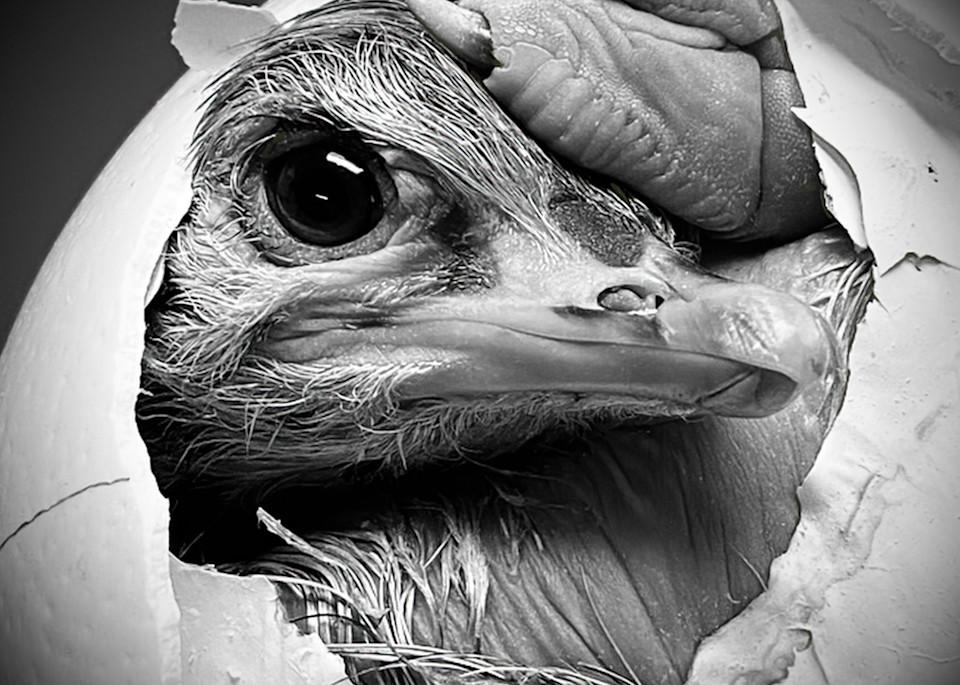 Ostrich Hatchling No. 1, Print, 2020 by artist Carolyn A. Beegan