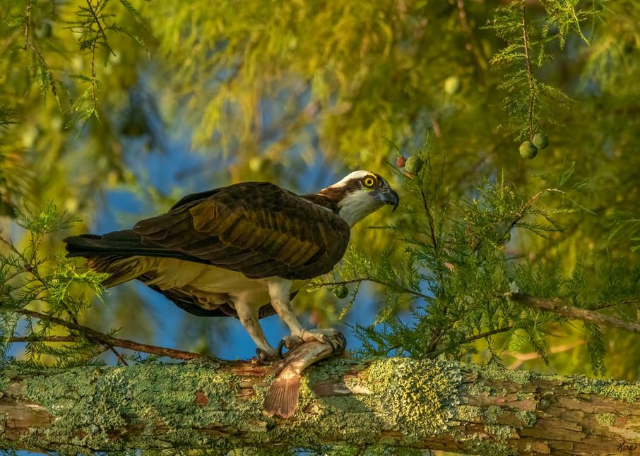 Osprey With Fish 8980 Art | Koral Martin Fine Art Photography