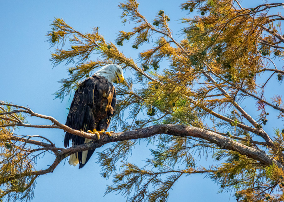 Bald Eagle 8821  Art   Koral Martin Fine Art Photography