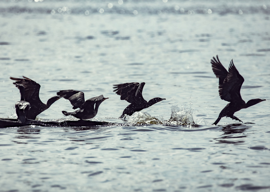 Cormorants Takingflight 8761  Art   Koral Martin Fine Art Photography