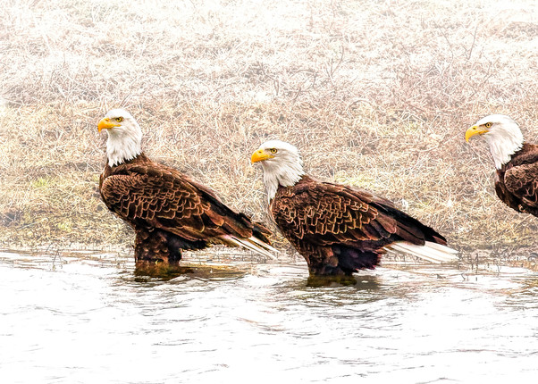 Lets Go Wading     Bald Eagles 9127 High Key Art | Koral Martin Fine Art Photography