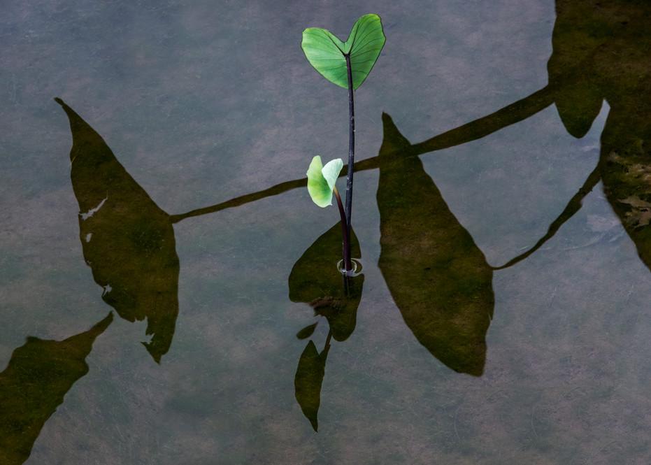 Limahuli Taro Photography Art   Ed Sancious - Stillness In Change