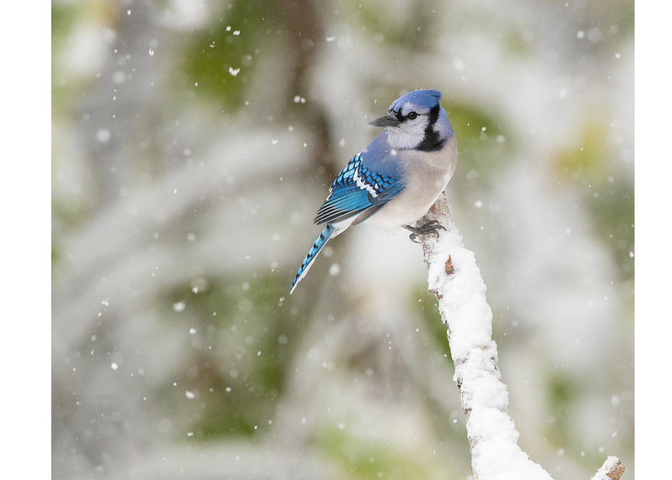 Photograph of a Blue Jay in the snow.