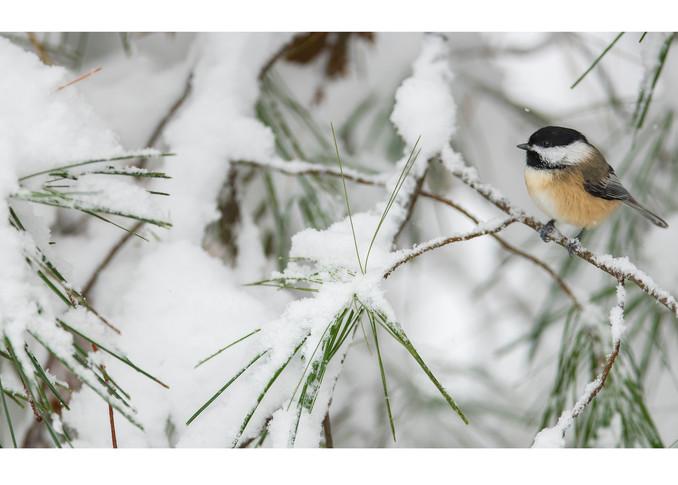 Chickadee On A Snowy Pine Branch (Wide) Photography Art | Tim Laman