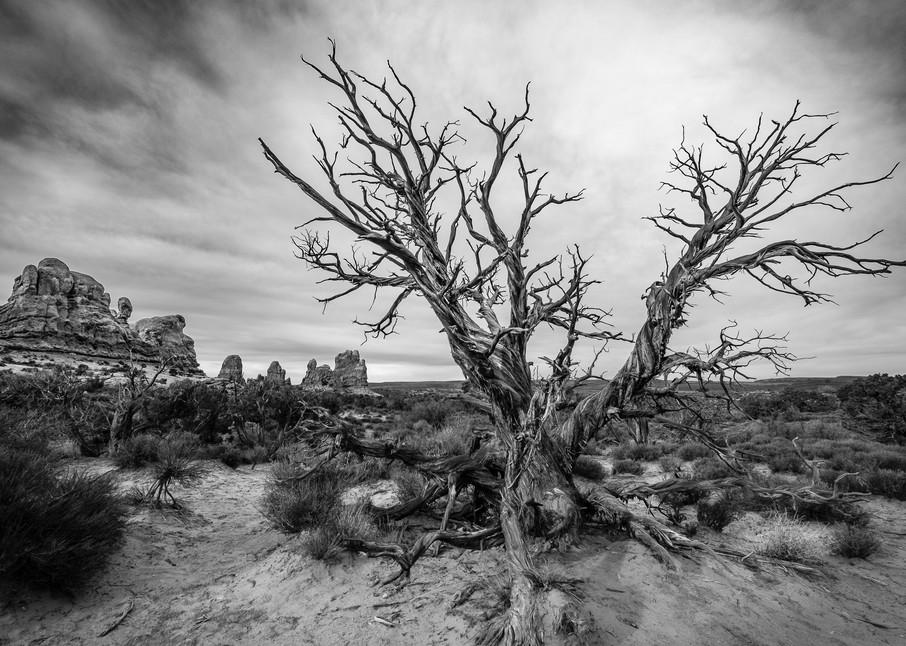 Desert Cedar, Arches National Park, Utah USA