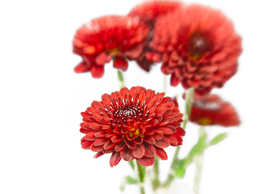 Red Mums Photography Art | Grace Fine Art Photography by Beth Sheridan