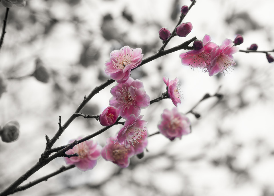 Cherry Blossoms, Japan Photography Art | The World in Black and White