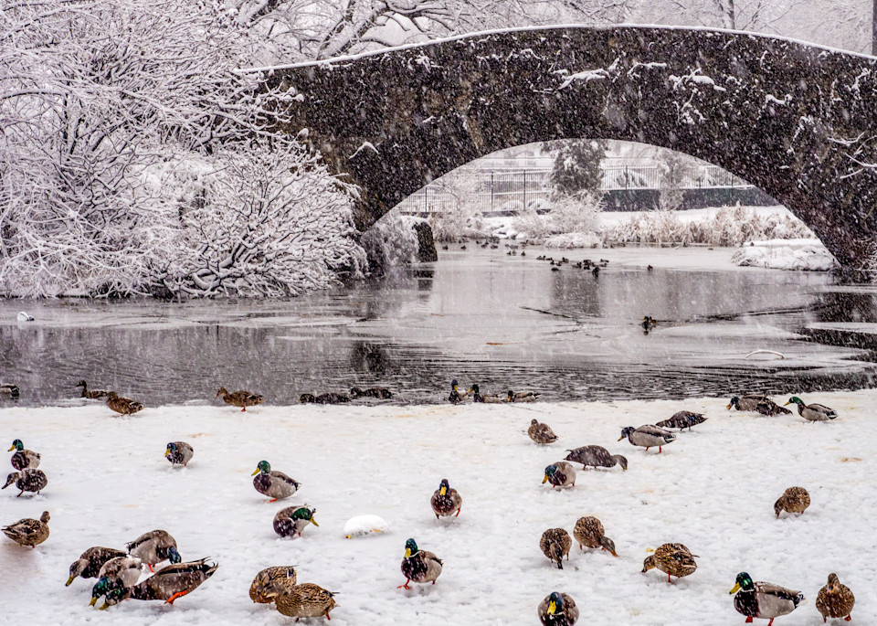 Ducks In Central Park Photography Art | Ben Asen Photography