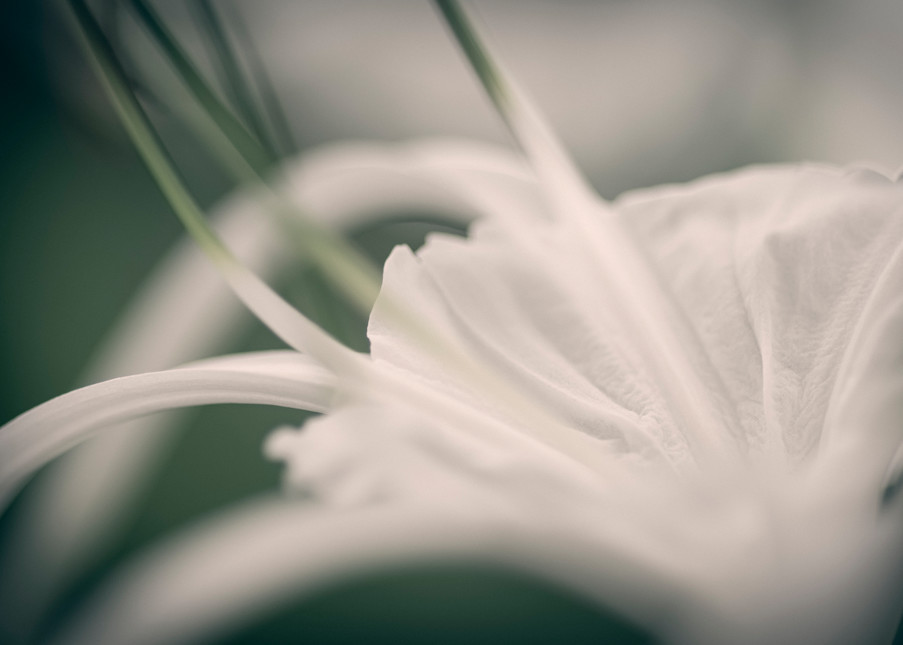 Pencil Orchid Photography Art | Kathleen Messmer Photography