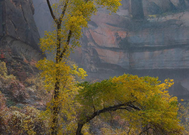 Yellow Tree in Zion Storm