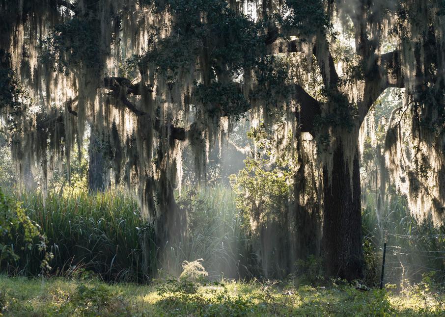 Live Oak Tree & Spanish Moss Sunrise Fog, Damon, Texas