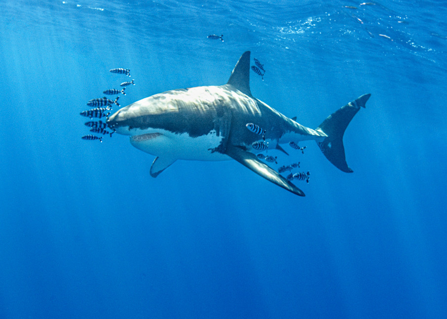 Pilot School is a fine art photograph of a great white shark and several pilot fish available for sale.