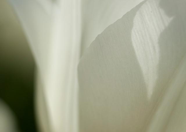 Tulip 7894 Photography Art | Christopher Grey Studios