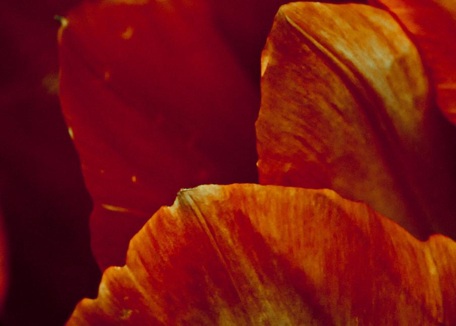 Red Tulip Art | Anna Jaap Studio