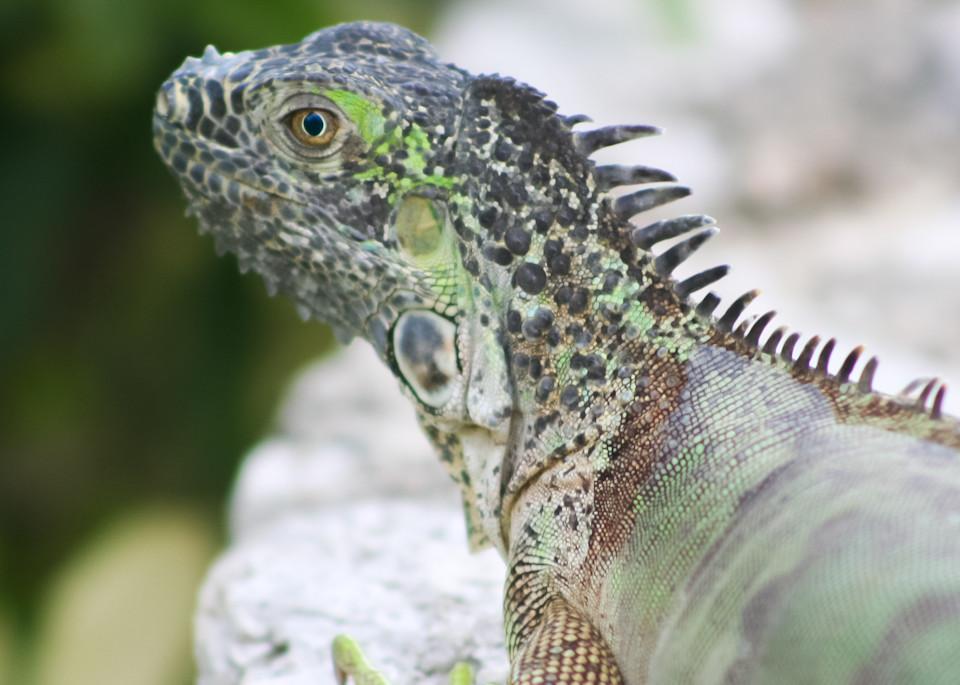 Iguana 3 Art | Thriving Creatively Productions