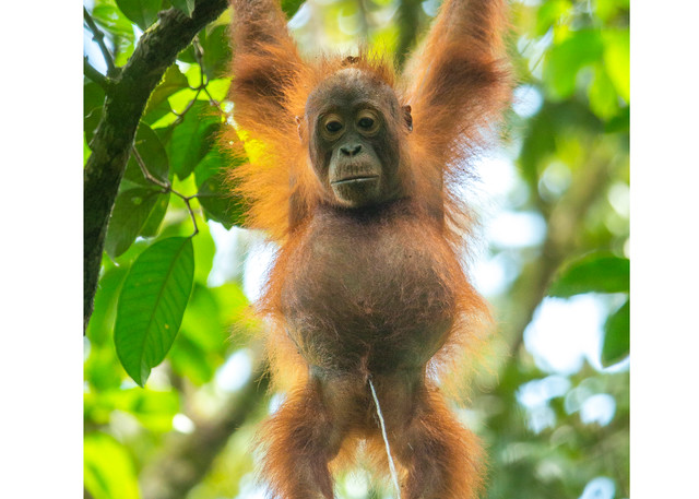 Most popular IG post of Orangutan Peeing.