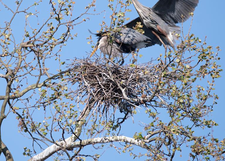 Male Heron Approaching The Nest Photography Art | Hatch Photo Artistry LLC