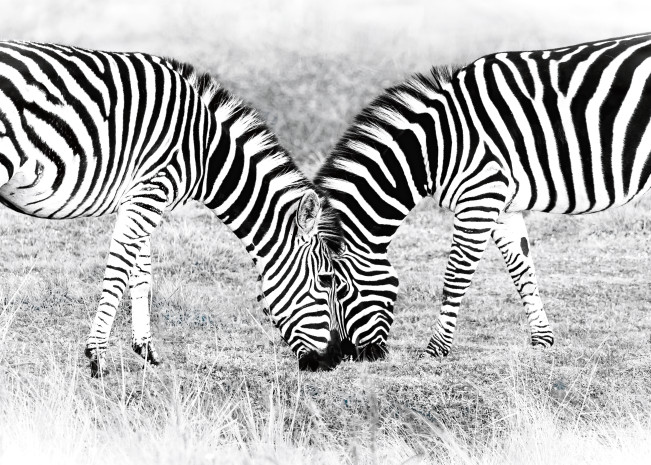 Zebras in Gondwana No. 1, 2016 by artist Carolyn A. Beegan
