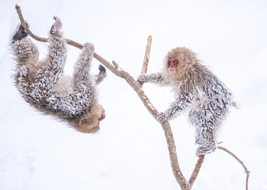Snow monkeys after a heavy snowstorm in Jigokudani, Japan.