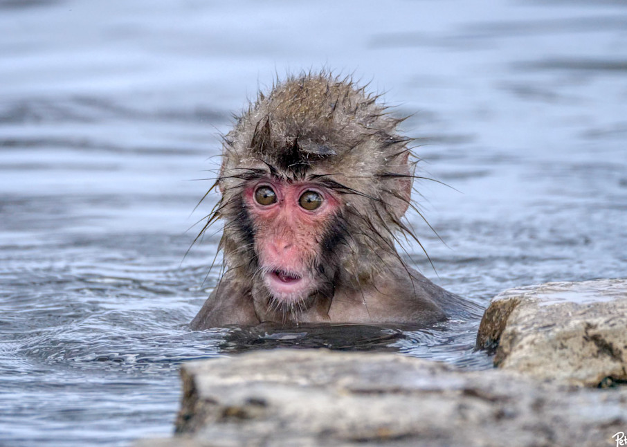 Cute baby snow monkey after jumping into the water.