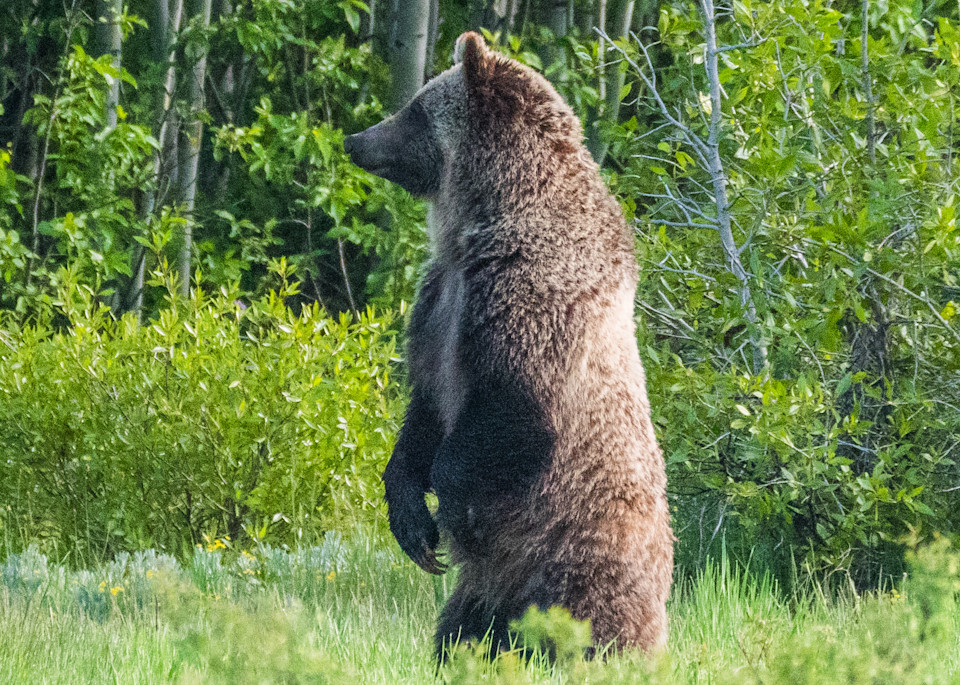Grizzly Bear standing up to look around in Grand Teton National Park