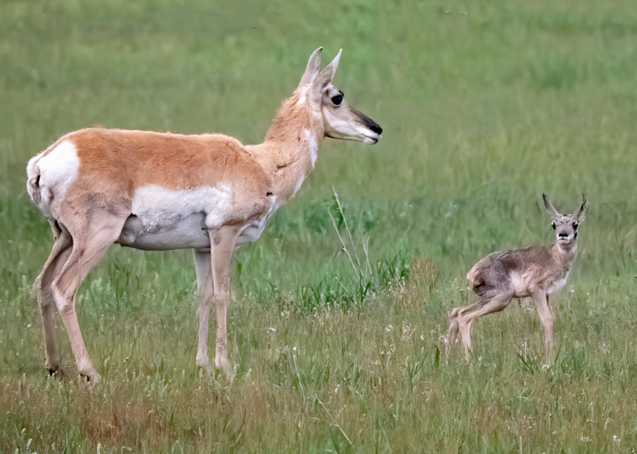 Newborn pronghorn with its mother - it was still very unsteady on its feet, but it managed a few steps to hide in some long grass and its mother ran away.