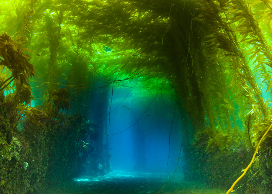 The King's Forest is a fine art photograph of an underwater kelp forest available for sale.