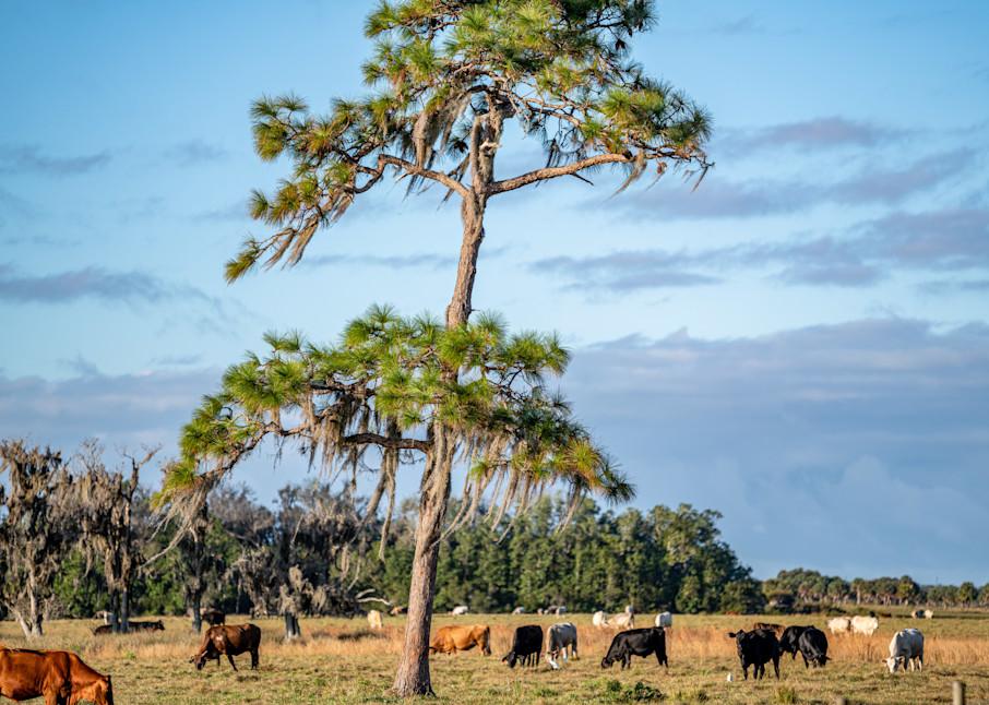 Old Florida Cattle Photography Art | kramkranphoto