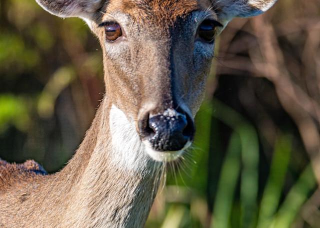 Deer In The Sunlight Photography Art | kramkranphoto